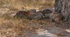 Sleeping Warthogs Stock Footage