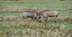 Warthogs fighting Stock Footage