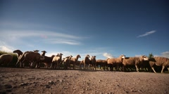 Sheep drove on a street in andean landscape. Peru Stock Footage