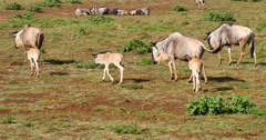 Wildebeest mothers and calves - stock footage