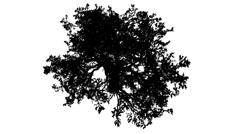 White Oak Quercus Alba Crown Top Down Silhouette of Animated Tree is Swaying at Stock Footage