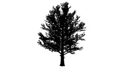 Sugar Maple Rounded Crown Silhouette of Animated Tree is Swaying at The Wind Stock Footage