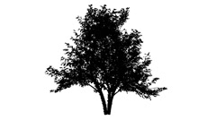 River Birch Silhouette of Animated Tree Small Shrub Deciduous Tree is Swaying - stock footage