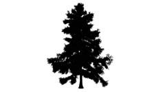 Alaska Cedar Cupressus Nootkatensis Evergreen Tree Silhouette of Animated Tree Stock Footage