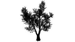Red Gum Eucalyptus Silhouette of Animated Tree Large Dense Crown of Leaves is - stock footage