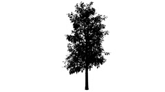 Sourwood Sorrel Tree Silhouette of Animated Tree is Swaying at The Wind Stock Footage