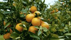 orange grove steadicam around a branch full of oranges Stock Footage