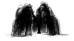 Weeping Willow Salix Babylonica Ornamental Tree Silhouette of Animated Tree is Stock Footage