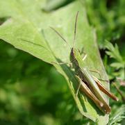 Grasshopper on the green grass - stock photo