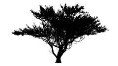 Umbrella Thorn Vachellia Tortilis Umbrella Shaped Silhouette of Animated Tree Stock Footage