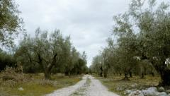 field of olive trees walking tracking pov steadicam Stock Footage