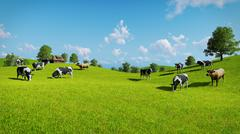 Cows graze on a green pasture Stock Illustration