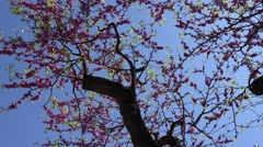 4K Pan right red blossom flower tree branch crown panorama springtime spring day Arkistovideo