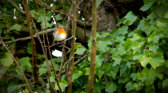European robin sitting in a tree Stock Footage