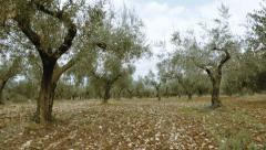 4K UHD field of olive trees walking tracking pov steadicam Stock Footage