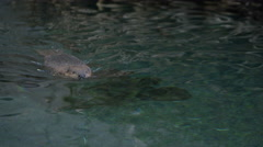 Canadian Beaver in Natural Habitat Stock Footage