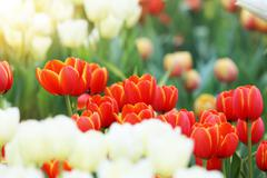 Red tulip flower - stock photo