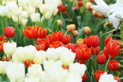 Red tulip flower - stock photo