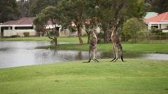 Kangaroo Boxing / Fighting Stock Footage