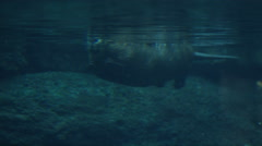Canadian Beaver Swimming Under Water - Aquatic Rodent in Lake - stock footage