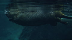 Canadian Beaver Swimming Under Water - Aquatic Rodent in Lake Stock Footage