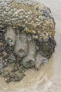 Anemones and Barnacles on an ocean tidepool Stock Photos
