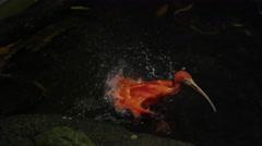 Scarlet Ibis in slow motion shaking Stock Footage