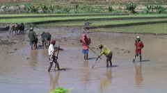 Men working in rice fields in the highlands of Madagascar with Zebu Stock Footage