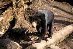 Sun bear also known as a Malaysian bear - stock photo