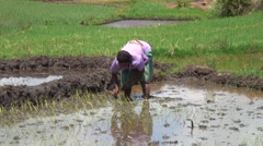 Woman standing in rice field in water planting rice with bent back - stock footage