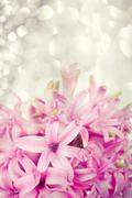 Pink hyacinth on abstract background - stock photo