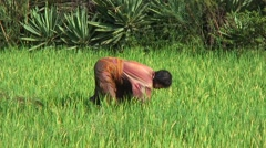 Woman working in green rice field with bent back - stock footage