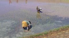 Stock Video Footage of Women standing in rice field in muddy water planting rice seedlings