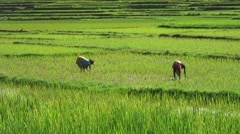 Women standing in rice field in muddy water planting rice with bent backs - stock footage