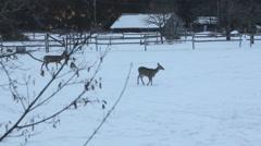 Montana Winter Deer - stock footage
