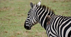 Zebra with bird cleaning parasites - stock footage
