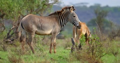 Grevy's Zebra mother and calf Stock Footage