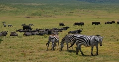 Zebras and Cape Buffalo Stock Footage