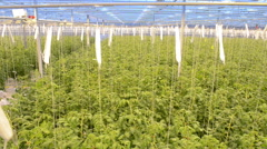 Tomato plants in a Greenhouse - stock footage