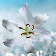 Lily flower on background with bokeh effects. Stock Photos