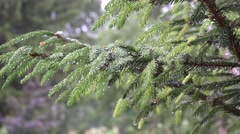 Rain fall on evergreen tree twigs. 4K Stock Footage