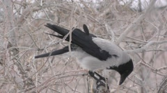 Hoodie (Corvus cornix) lunching in winter - stock footage