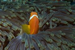Maldives Anenomefish in a magnificent sea anemone - stock photo