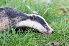 A captive badger in the British Wildlife Centre Stock Photos