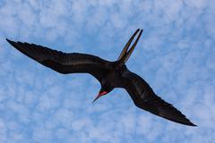 Magnificent frigate bird in flight - stock photo