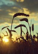 Silhouette of a wheat field - stock photo