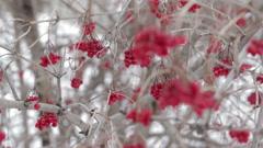 Winter frozen viburnum berries in snow Stock Footage