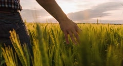 Midsection Farmer Walking Wheat Field Sunlight Landscape Nature Agriculture Stock Footage