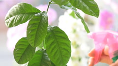 Young woman cleaning plants and spray water at home. Stock Footage