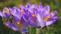 Blooming Crocus in spring Stock Footage